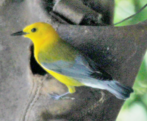 Prothonotary warbler-boot nest