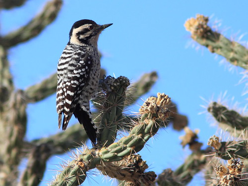 Ladder-backed Woodpecker 2-20111114 | by Kenneth Cole Schneider