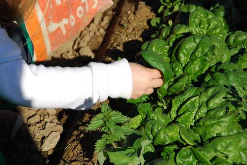 Spinach: Savoyed