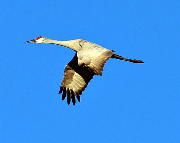 Sandhill Crane - Eagle Lake,Texas.