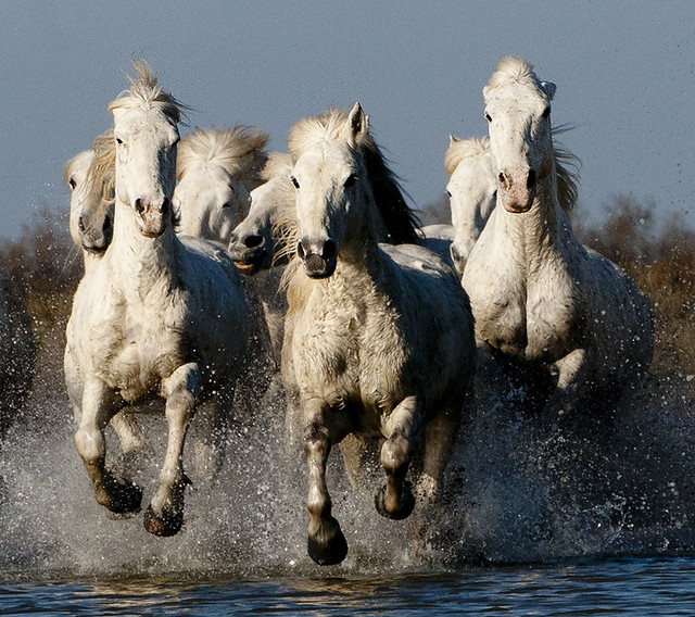 Group of Camargue Horses Galloping through Water (2)