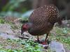 藍腹鷴雌鳥覓食 Swinhoe's Pheasant, female by 賞景者 Jeff Lin