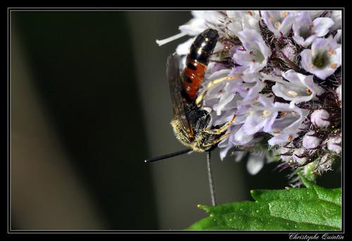 Lasioglossum calceatum mâle