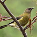 New Zealand Bellbird - Photo (c) Sid Mosdell, some rights reserved (CC BY)