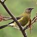 Anthornis melanura - Photo (c) Sid Mosdell,  זכויות יוצרים חלקיות (CC BY)