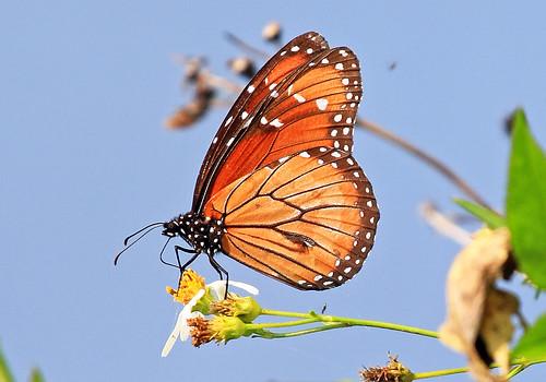 nature butterfly insect ngc npc monarch milkweed danausplexippus