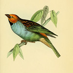 A selection of the birds of Brazil and Mexico  the drawings