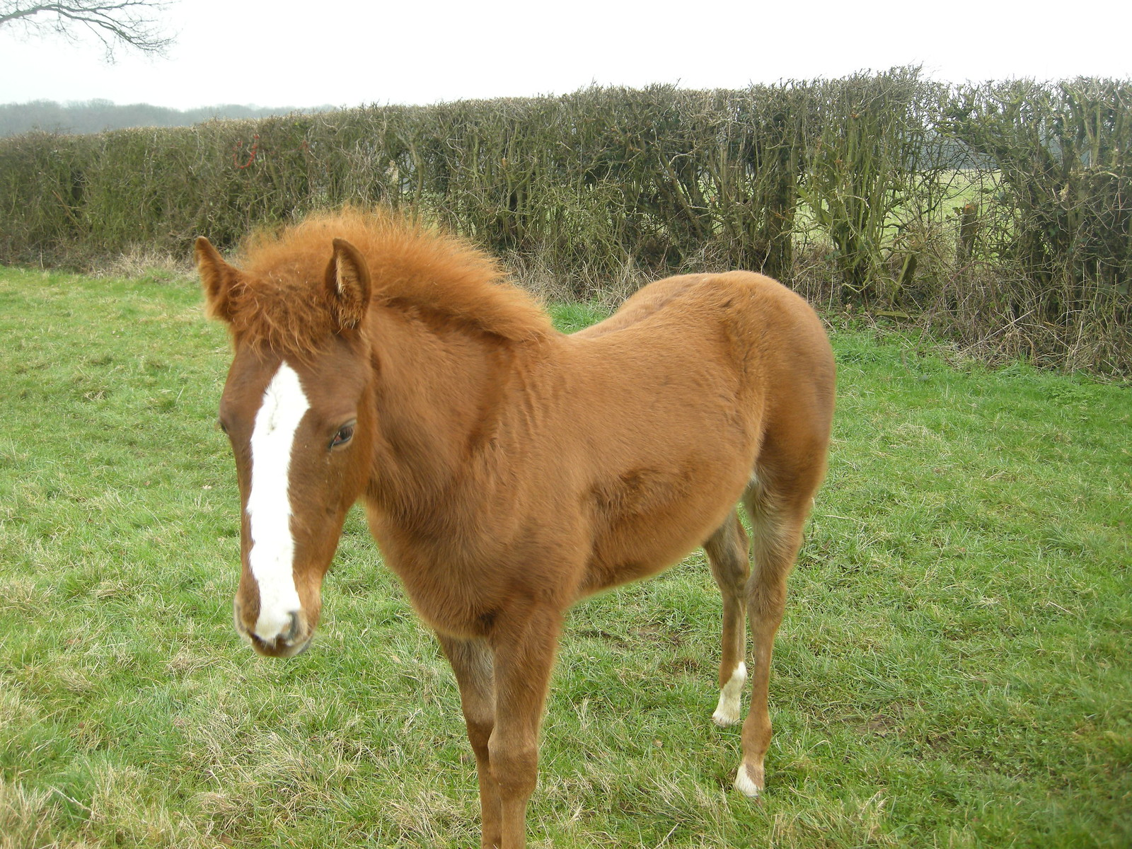 small horse with mane