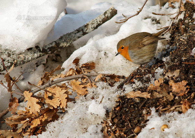 DSC02165 - A4 - France, Bassin gapençais : rouge gorge au sol / Robin on the ground / Erithacus rubecula