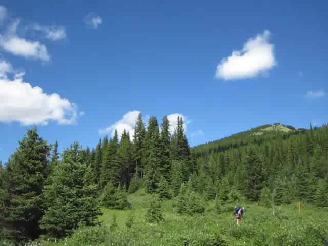 0127 Video of a high meadow and pine trees on the Forty Mile Creek Trail