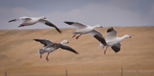 White and Blue Snow Geese