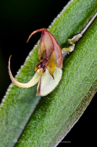 Lepanthes melpomene | by orchidkarma