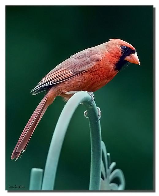 A Kentucky Cardinal....
