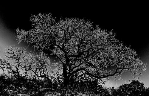 tree fog photomanipulation photography photo photographer photos computerart mft shockofthenew intelguy microfourthirds rickbolin