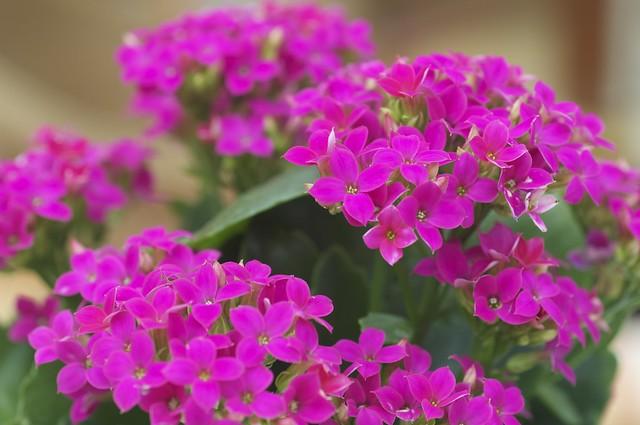 Bright pink Kalanchoe