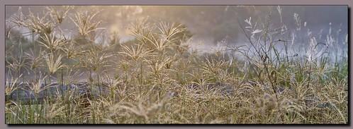 foggy backlit shining grasslands eaglebywetlandsplumedegretpelicansmistsunrisegrassesshee