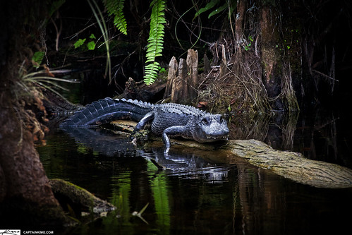 Grump Alligator on Log at Loop Road Everglades Florida | by Captain Kimo
