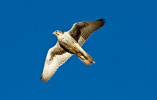 Prairie Falcon | by Shawn McCready