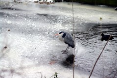 herron on ice