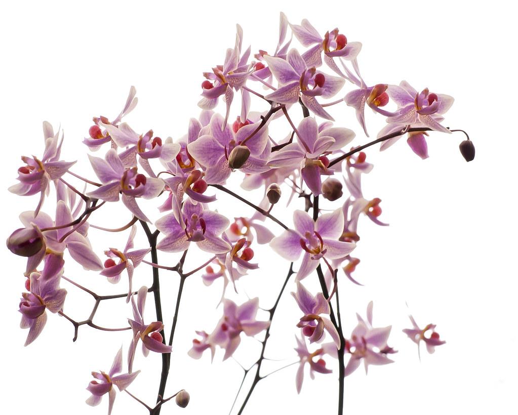 Phalaenopsis missouri botanical garden orchid show 2012 - Orchid show missouri botanical garden ...