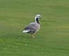 Emperor Goose by Wayne Weber