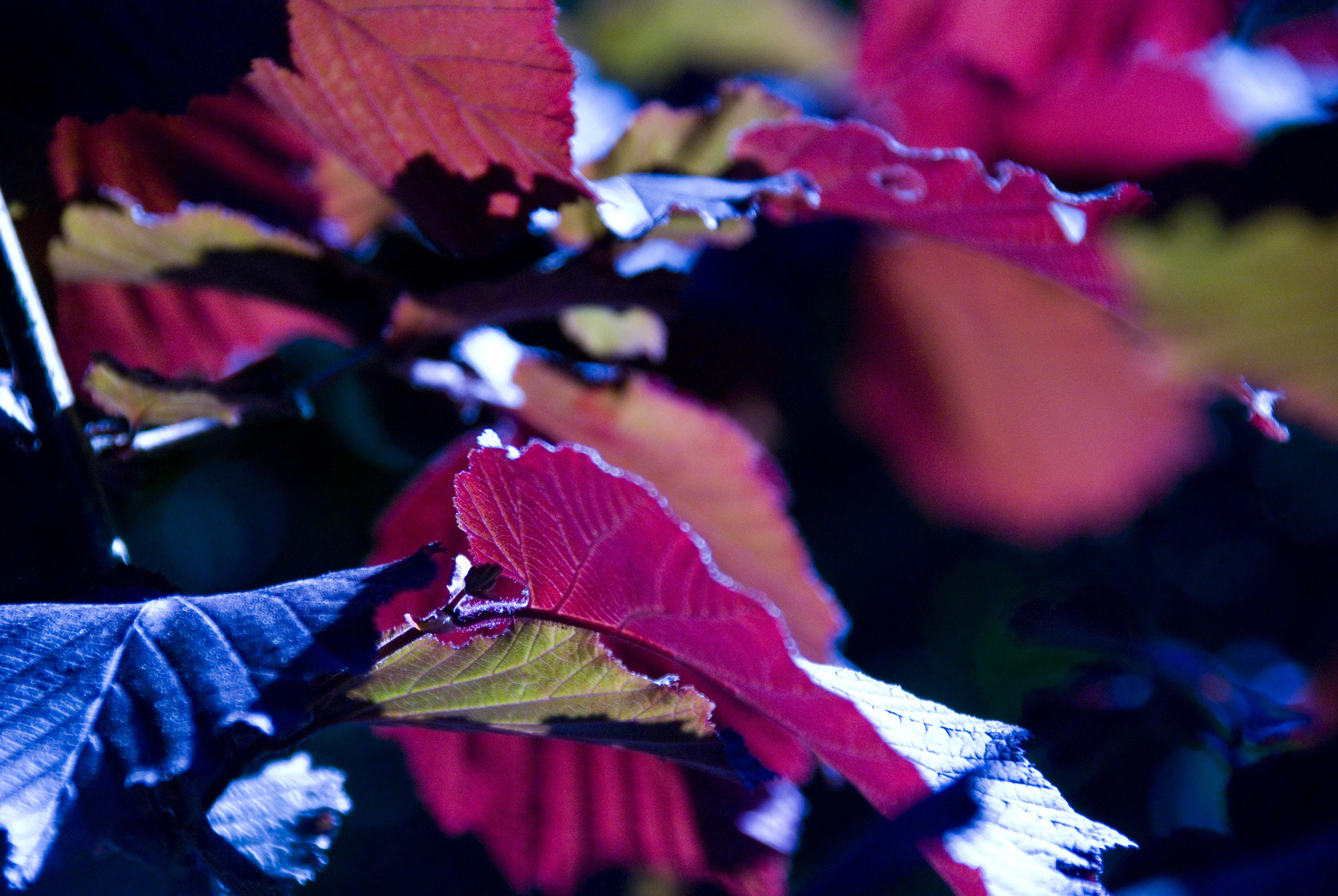 red summer leaf