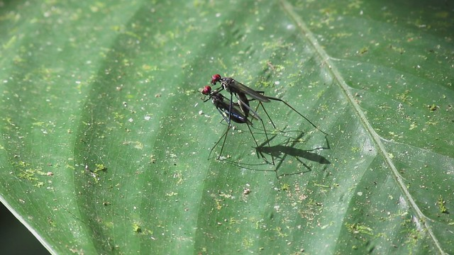 Micropezid Flies Mating