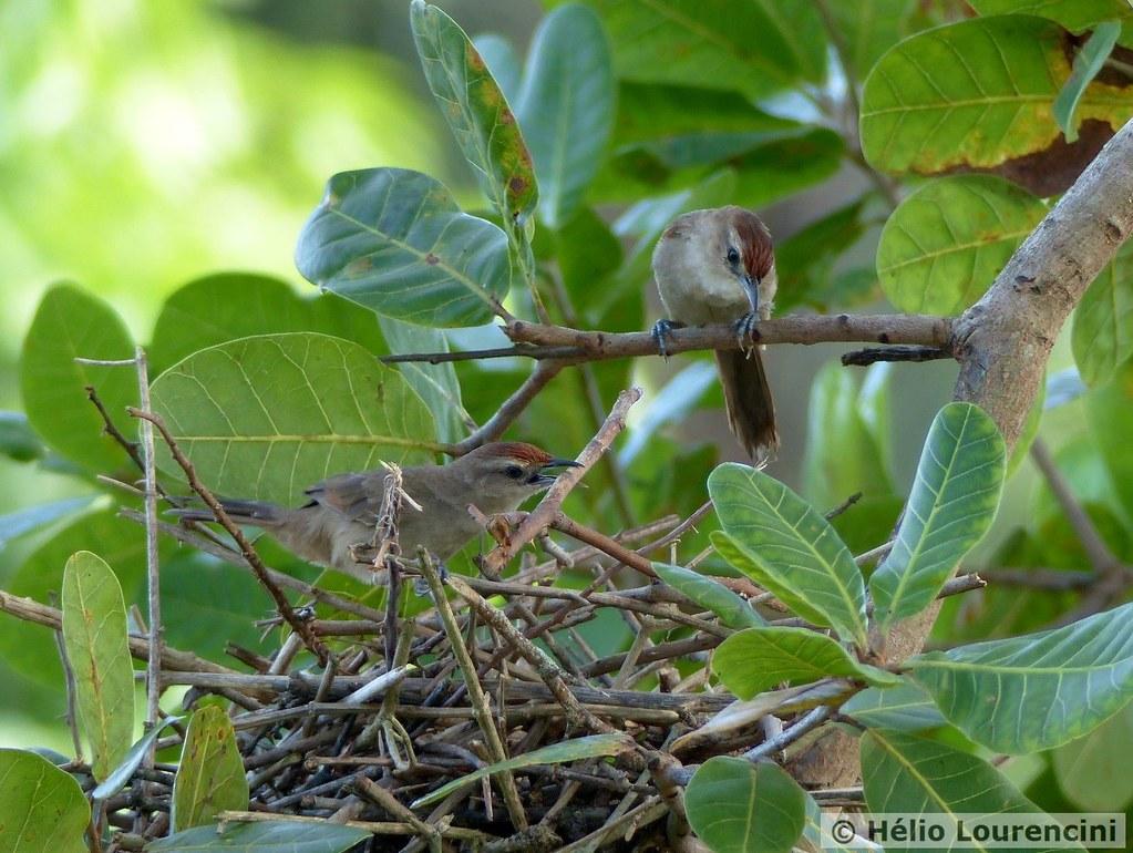 João-de-pau [Rufous-fronted Thornbird]