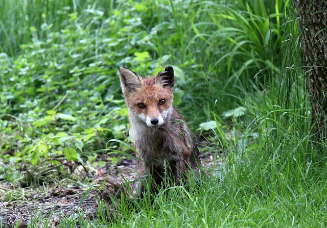 Here Comes Mr.Fox again
