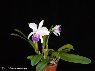 Cattleya Amethystoglossa Var Amethystina Flickr Photo