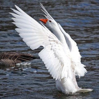Graylag Goose | by RuudVisser
