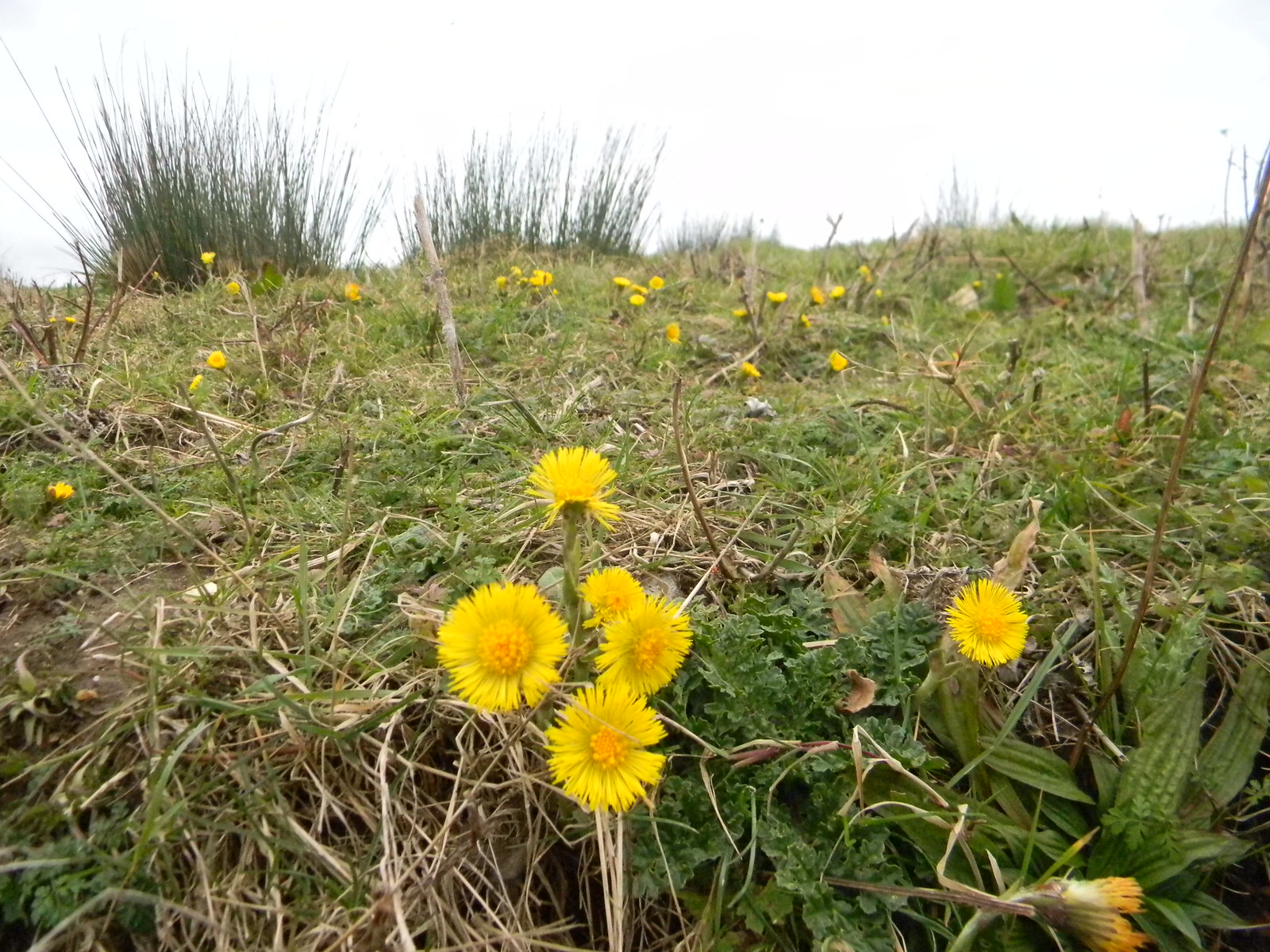 Coltsfoot Wakes Colne to Bures