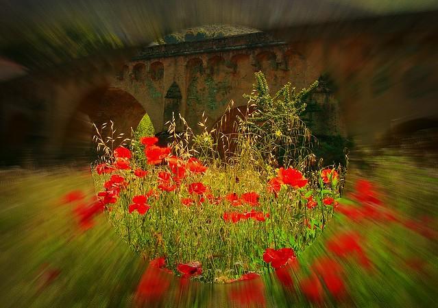 KORSIKA, Ponte Leccia,  poppies in focus , 11044/3179