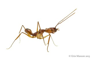 Trap-Jaw Ant (Anochetus micans) 5