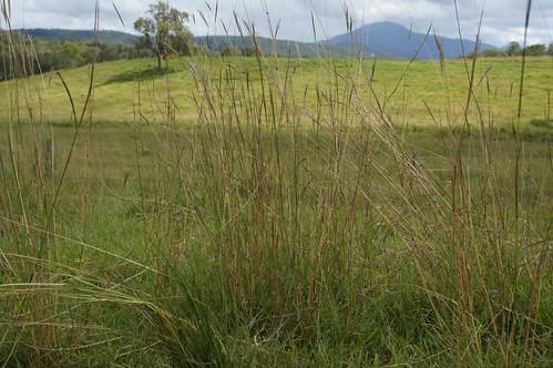 poaceae bothriochloa decipiens red grass pitted bluegrass native