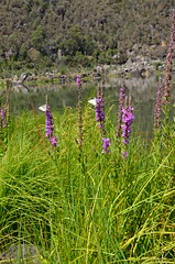 Lythrum salicaria at the Cataract Gorge