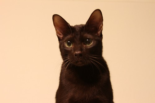 Ellie - Havana Brown Cat