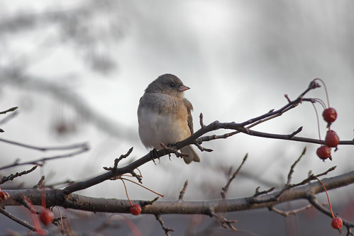 wild tree bird nature animal closeup fauna bill michigan wildlife junco ngc beak feather perch ornithology birdwatching avian juncohyemalis supershot femalejunco darkeyedslatecoloredjunco femaledarkeyedslatecoloredjunco