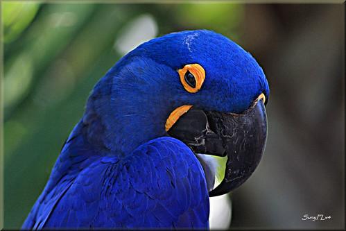 blue bird parrot endangered hyacinthmacaw avianexcellence