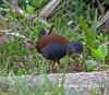 Black-tailed Crake,   Porzana bicolor by Graham Ekins