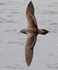 Wedge-tailed Shearwater by boombana