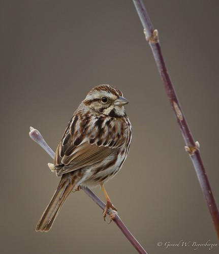 birds alberta songsparrow melospizamelodia emberizidae