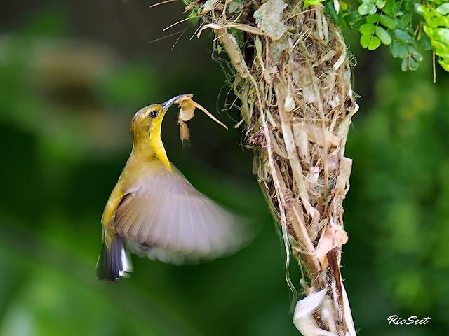 Female Sunbird Nesting
