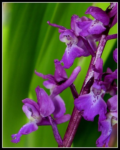Orchis mascula - orchis mâle - Page 2 27098549411_06e98f1902