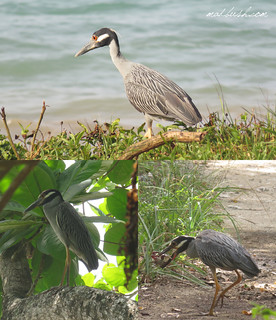 Yellow-Crowned Night Heron (Nyctanassa violacea) St.Ann's Bay. Place, where Columbus arrived during one of his exploration trips to the new World