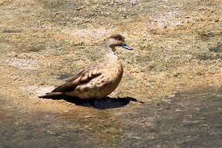 Crested Duck - Lophonetta specularioides | by knuts-photos