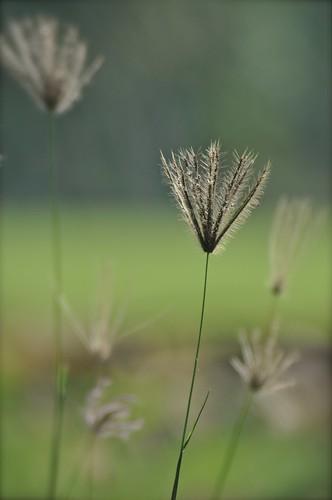 plants grass johor muar westmalaysia