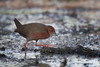 Ruddy-breasted Crake by Tarique Sani