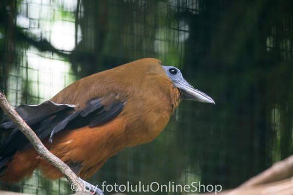 Kapuzinerkotinga_Perissocephalus tricolor-1