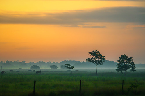 fog landscape cattle cows florida foggy stuart highschool pasture grazing graze martincounty southfork